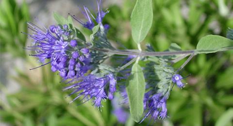 bluebeard-shrub