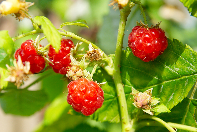 Raspberries will ruin your yard