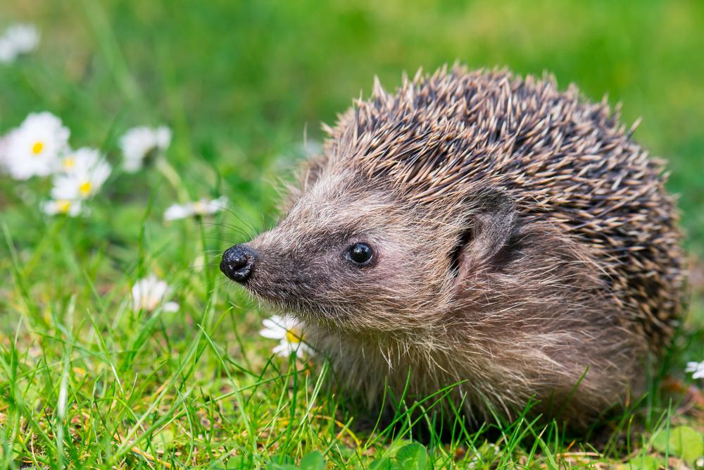 #1 Hedgehog