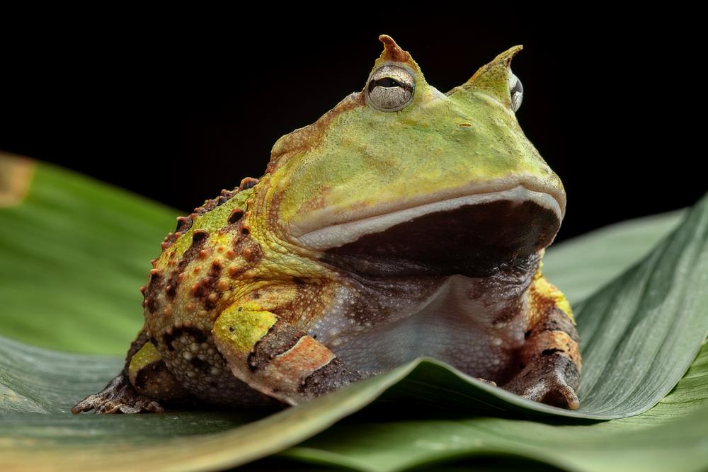 #4 Horned Frog