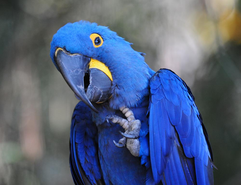 #7 Hyacinth Macaw