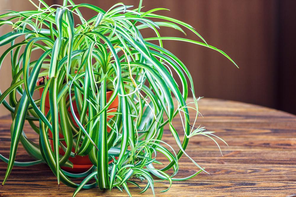#7 Spider Plant