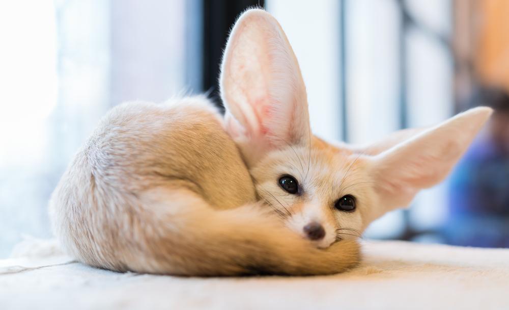 how to buy a pet fox