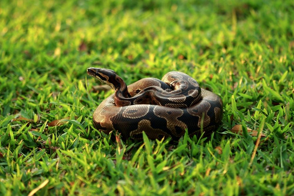 #9 Ball Python