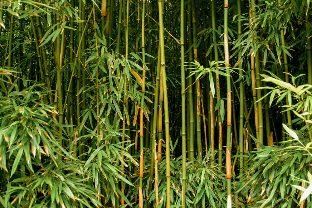 #11 Bamboo