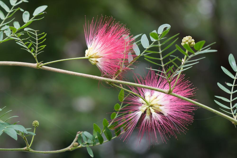 #2 Mimosa Tree