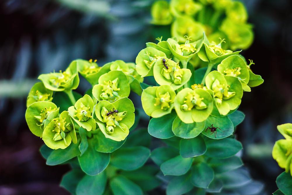 #7 Euphorbia