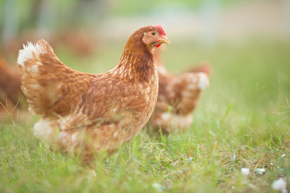 #1 Hens