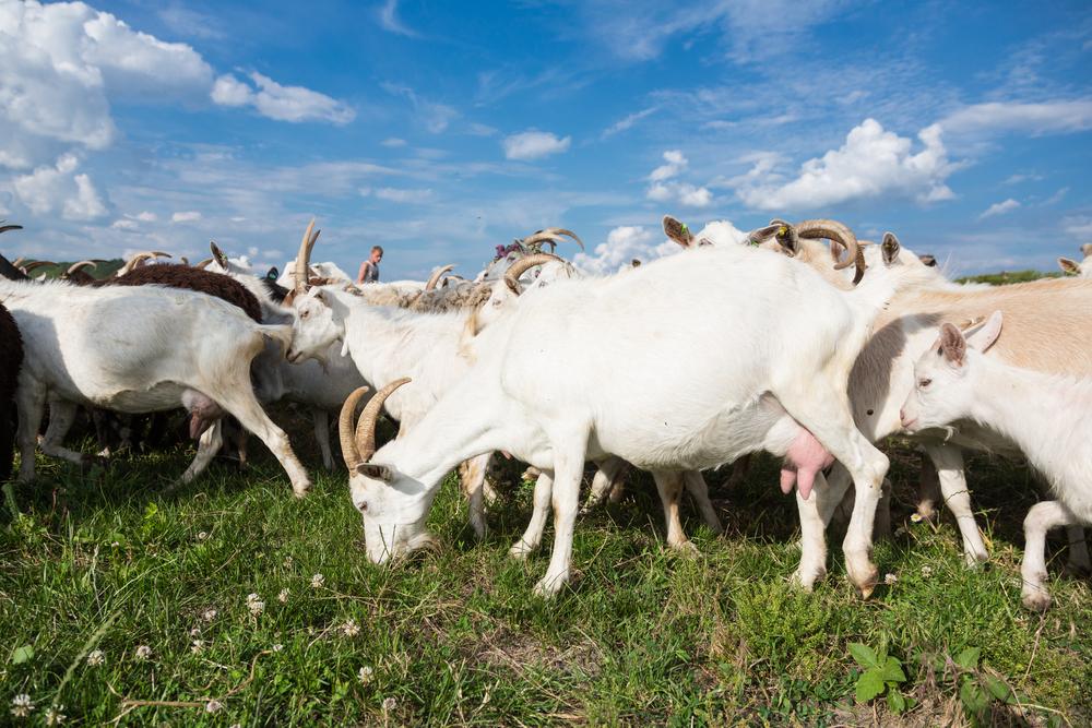 #2 Dwarf Goats