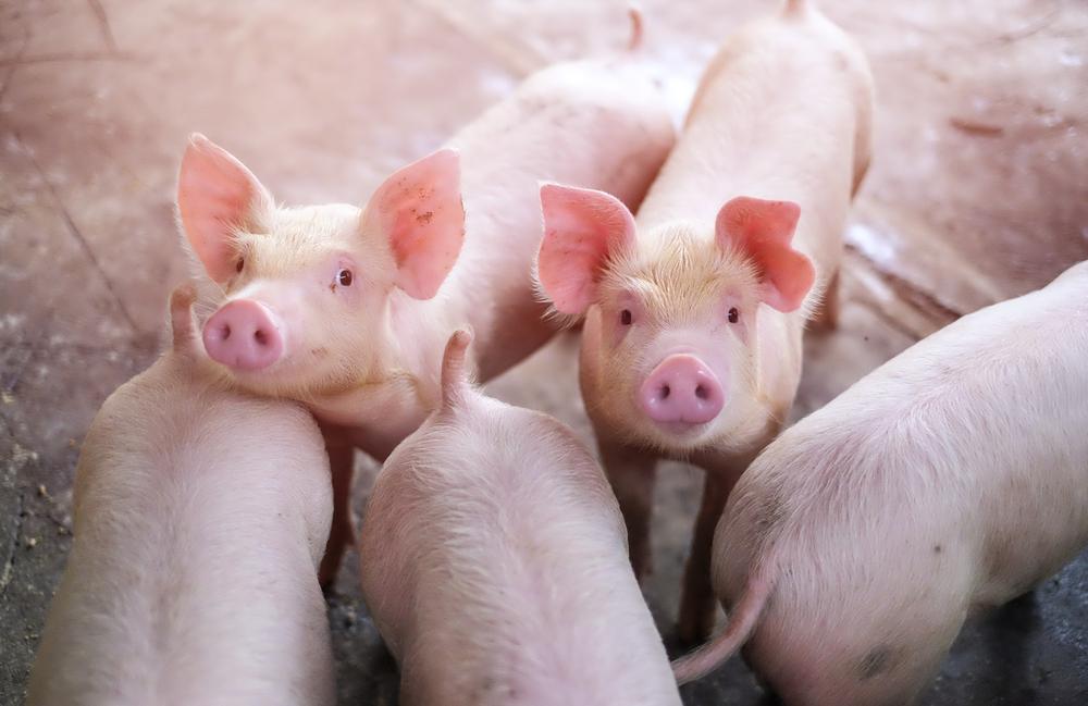 #5 Pigs