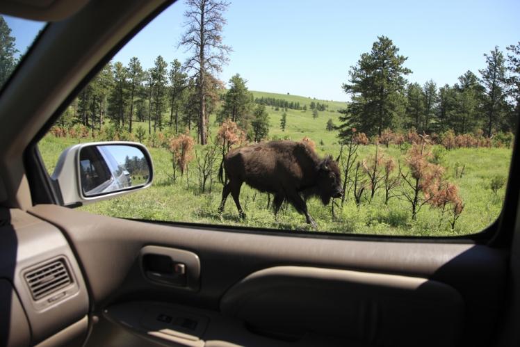 Hanging with Buffalo