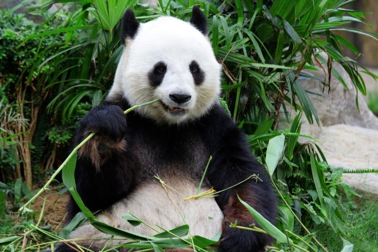 See Panda's in their Natural Habitat