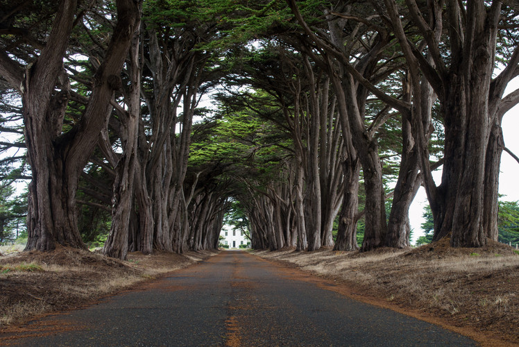 "The Cypress ""Tree Tunnel"", Point Reyes"