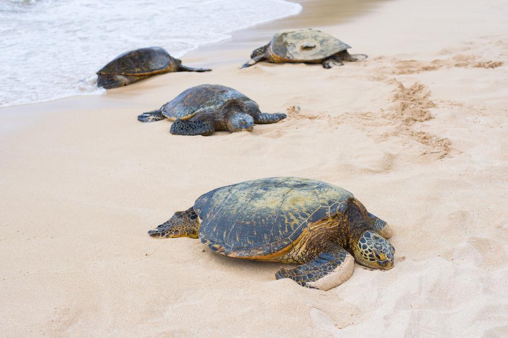 #6 Turtle Bay, Hawaii
