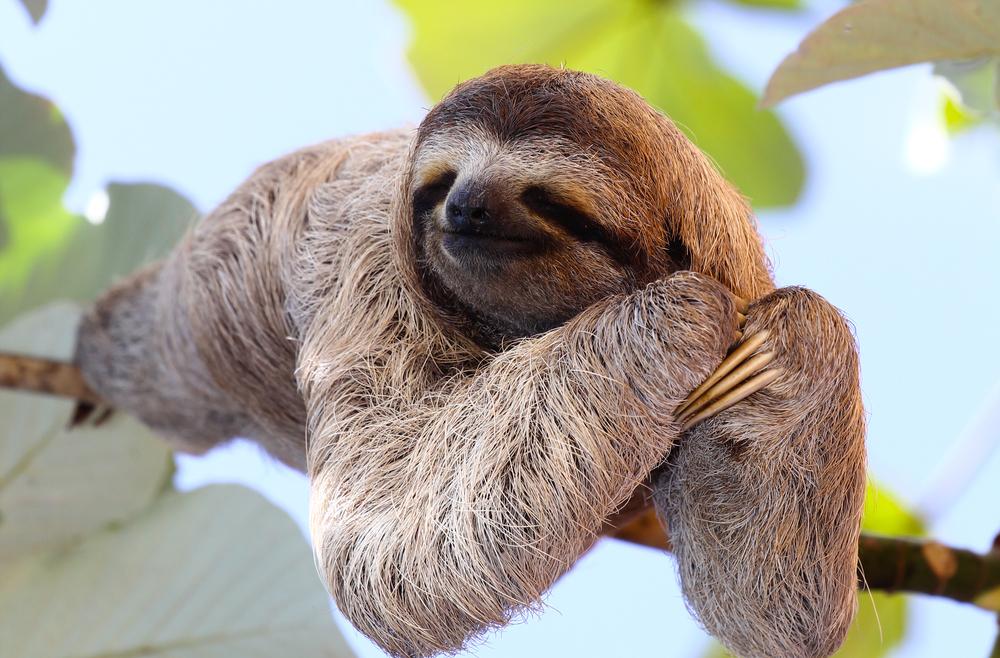 #1 Sloth