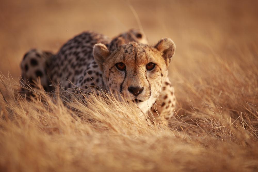 #10 Cheetah