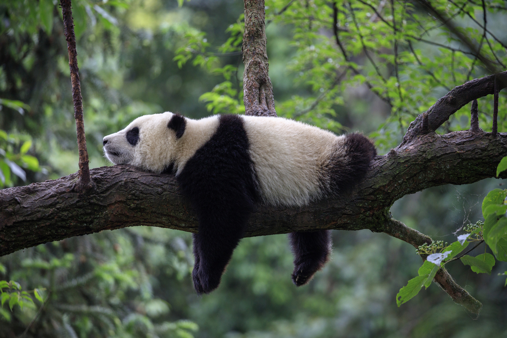 #2 Panda