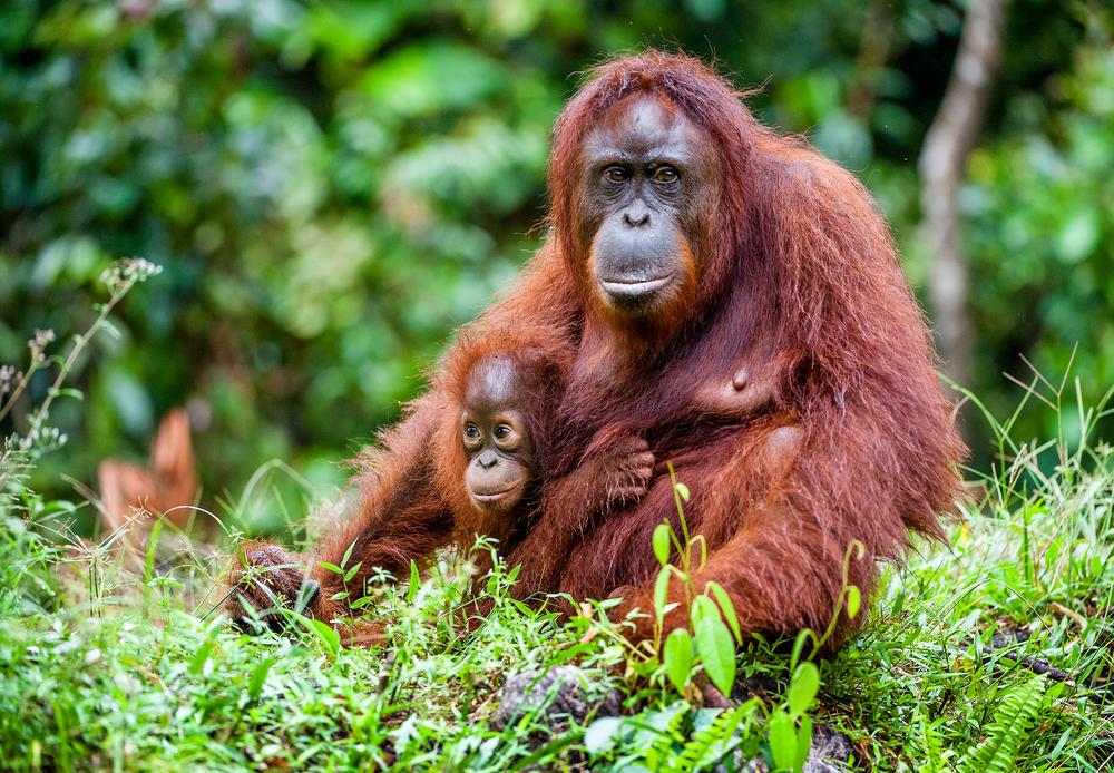 #3 Orangutan