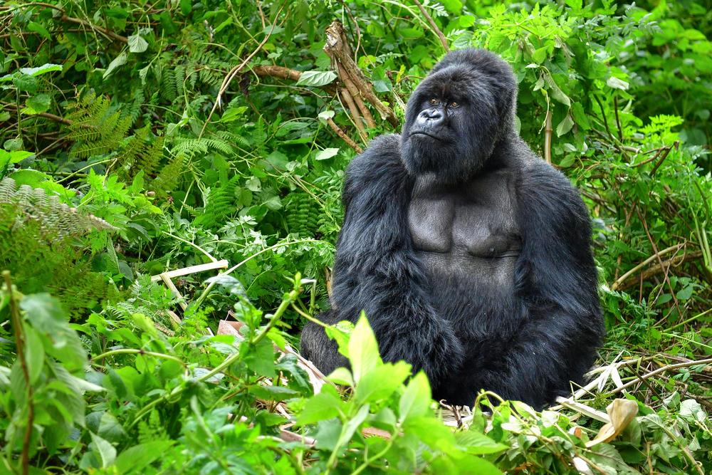 #4 Gorilla