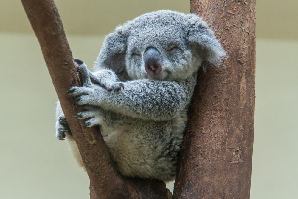 #6 Koala