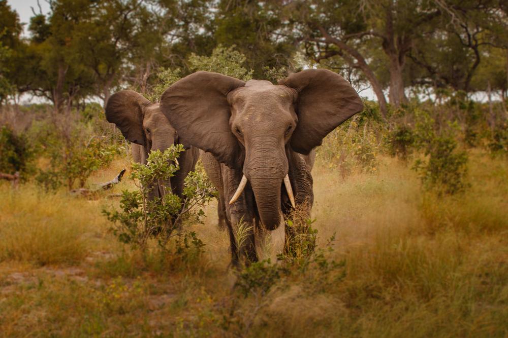 #8 Elephant