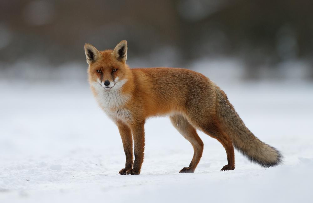 #9 Red Fox